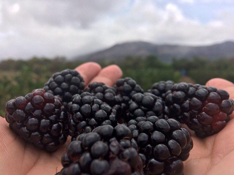 Chapada: Produção de morangos e amoras tem aumento no crescimento e vira até atração turística na região